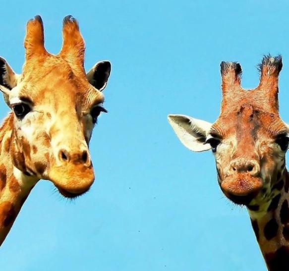 Giraffesd