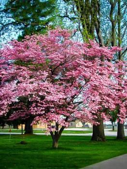 orleans dogwood